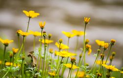 Beautiful small yellow flowers. In garden Royalty Free Stock Photography