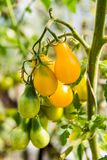 Beautiful small yellow tomatoes in the garden royalty free stock photos