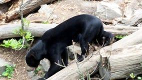 Beautiful smaller kind of bears. Helarctos malayanus stock video footage