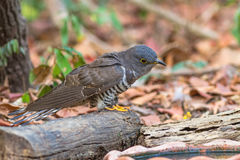 Beautiful of smallest Cuckoo bird Indian Cuckoo Cuculus micropterus,  drinking water on tub Stock Images