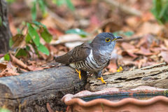 Beautiful of smallest Cuckoo bird ,Indian Cuckoo Cuculus micropterus,  drinking water on tub Stock Photography