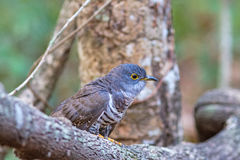 Beautiful of smallest Cuckoo bird Indian Cuckoo Cuculus micropterus, standing on branch Stock Image