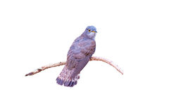 Beautiful of smallest Cuckoo bird ,Indian Cuckoo Cuculus micropterus,  standing on  branch  on white Royalty Free Stock Photo