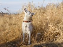 A beautiful smart young curious Japanese Akita Inu dog in a leather collar sniffs the air among the dried grass in th. A beautiful smart young curious Japanese stock photo