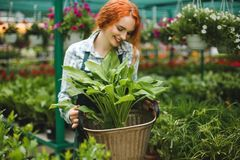 Beautiful smiling florist in apron working with flowers. Young redhead lady standing with big flower in hands. Beautiful smiling florist in apron working with royalty free stock image