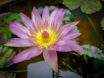 Beautiful Smiling Flower on a Pond stock photos