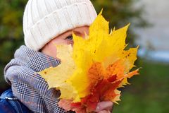 Beautiful smiling girl hides her face behind maple yellow-red leaves royalty free stock image