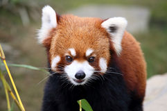 Beautiful smiling red panda Royalty Free Stock Image