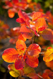 Beautiful smoke tree in autumn Royalty Free Stock Images