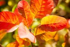 Beautiful smoke tree in autumn Royalty Free Stock Photos