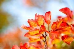 Beautiful smoke tree in autumn Stock Image