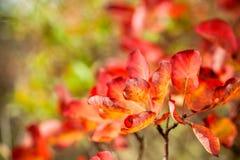 Beautiful smoke tree in autumn Royalty Free Stock Photography