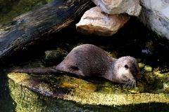 Beautiful Smooth-coated Otter Lutrogale perspicillata. Living in Thai forest stock images
