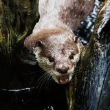 Beautiful Smooth-coated Otter Stock Photography