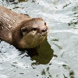Beautiful Smooth-coated Otter Stock Photos