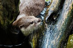 Beautiful Smooth-coated Otter Royalty Free Stock Photos
