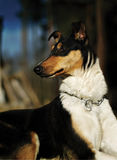 Beautiful smooth collie. Beautiful lying smooth collie champion bitch Royalty Free Stock Photography