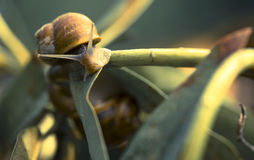 Beautiful  snail in the breeding season. Snail on a leaf during daylight in garden Royalty Free Stock Photo