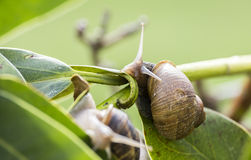 Beautiful  snail in the breeding season. Snail on a leaf during daylight in garden Stock Photography