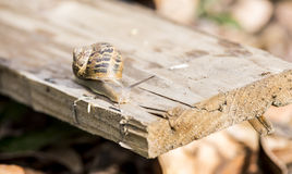 Beautiful  snail in the breeding season. Snail on piece of wood Royalty Free Stock Photography