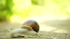 Beautiful Snail Crawling In Nature, Rising Slightly In Air stock video