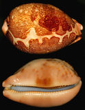 Beautiful snail shell. Snail shell called cypraea mappa. From my collection. Don't know where it comes from Stock Image