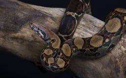 Beautiful snake Royalty Free Stock Images