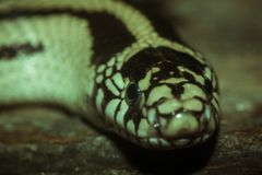 Beautiful snake. Live in the cave adder animal asia big biology black body chin danger dark environment eyes fauna fearful forest ground habitat head hide life royalty free stock photos