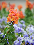 Antirrhinum majus (snapdragon) flower Stock Photos