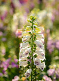Beautiful snapdragon wiht bokeh background. Royalty Free Stock Photography