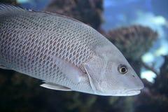 Beautiful Snapper saltwater fish Royalty Free Stock Photos