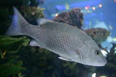 Beautiful Snapper saltwater fish with gray scales Royalty Free Stock Photo