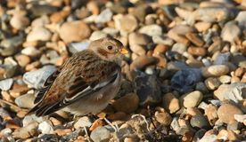 A beautiful Snow Bunting Plectrophenax nivalis searching for food on a beach in Kent, UK. Royalty Free Stock Images