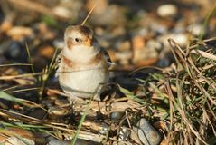 A beautiful Snow Bunting Plectrophenax nivalis searching for food on a beach in Kent, UK. Stock Photo