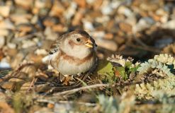 A beautiful Snow Bunting Plectrophenax nivalis searching for food on a beach in Kent, UK. Royalty Free Stock Image
