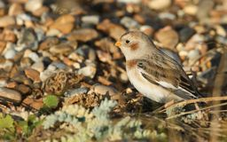 A beautiful Snow Bunting Plectrophenax nivalis searching for food on a beach in Kent, UK. Royalty Free Stock Photography