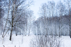 Beautiful snow-covered birch forest Royalty Free Stock Photo