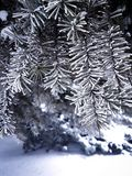 A beautiful snow-covered branch of spruce, a New Year tree. Beautiful frozen spruce branch, winter tree.beautiful frozen tree branch, winter tree in the park Stock Photography