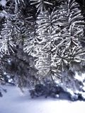 A beautiful snow-covered branch of spruce, a New Year tree. Beautiful frozen spruce branch, winter tree.beautiful frozen tree branch, winter tree in the park Stock Image