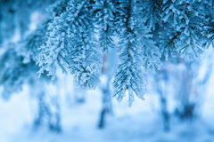 Beautiful snow-covered branches of spruce trees in Winter Park Stock Photos