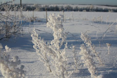 Beautiful snow-covered bushes in the winter sun. Beautiful snow-covered bushes of grass in the winter sun Stock Image