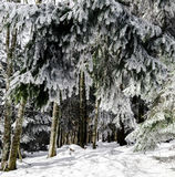 Beautiful snow-covered fir trees in winter forest. French mountains Royalty Free Stock Images