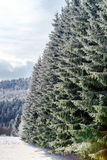 Beautiful snow-covered fir trees in winter forest. French mountains Stock Images