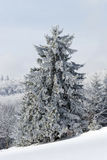 Beautiful snow-covered fir trees in winter forest. French mountains Royalty Free Stock Image