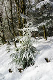 Beautiful snow-covered fir trees in winter forest. French mountains Royalty Free Stock Photography