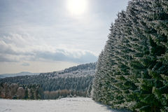Beautiful snow-covered fir trees in winter forest. French mountains Royalty Free Stock Photo