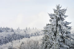 Beautiful snow-covered fir trees in winter forest. French mountains Stock Photo