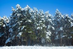 A beautiful snow-covered landscape of spruce forest in winter. Stock Image