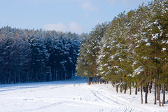 Beautiful snow-covered pine forest Royalty Free Stock Image