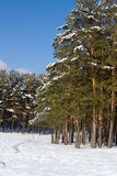 Beautiful snow-covered pine forest Stock Photo